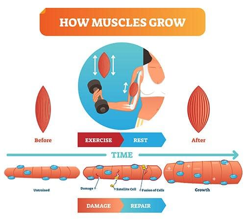 how muscles grow