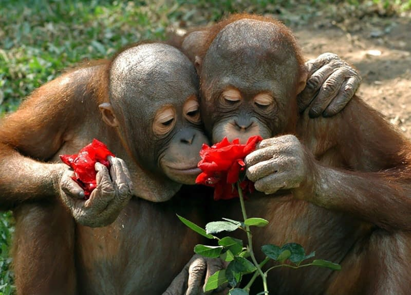 monkeys smell roses